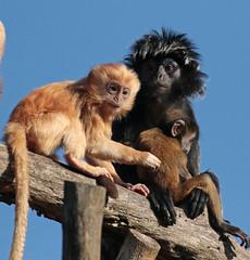 javan langur apenheul 094A0456 (j.a.kok) Tags: animal aap asia azie mammal monkey langur langoer javaanselangoer javanlangur apenheul primate primaat zoogdier dier