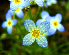 Drop on Blue Flowers (Stanley Zimny (Thank You for 33 Million views)) Tags: blue flowers pretty small botanical garden water drops rain wet