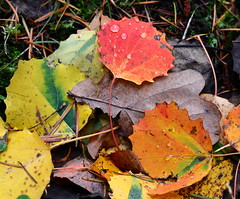 Autumn Leaves (Gr@vity) Tags: autumn leaves leaf blätter herbstblatt laub fall eosr rf24105 canon