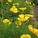 Yellow Poppies – Red Moon Sanctuary, Redmond, Western Australia