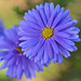 Blue Asters