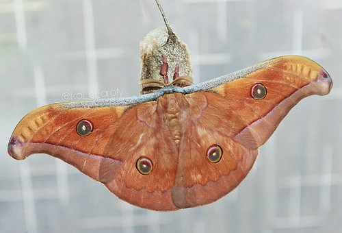 Family : Saturnidae, Scientific Name : Antheraea jana, Origin : Gresik, East Java, Indonesia.   #antheraeajana #moth #butterfly #saturnidae #lepidoptera #insect #entomology