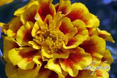 The nicest flowers in my garden (chk.photo) Tags: flower nature blume naturemasterclass macro natur naturewatcher