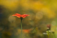 lumière florale (christophe.laigle) Tags: christophelaigle fleur macro nature flower fuji lumière xpro2 xf60mm light ngc