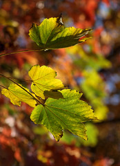 Remembering The Old Maple (AnyMotion) Tags: maple ahorn leaf leaves blatt blätter laub autumncolours herbstfärbung bokeh 2017 plant pflanze anymotion nature natur frankfurt 7d2 canoneos7dmarkii colours colors farben autumn fall herbst automne otoño