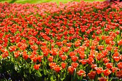 Vague rouge (patoche21) Tags: art amsterdam europe fleur flore nature paysbas paysage plante décoratif jardin parc tulipe patrickbouchenard netherlands keukenhof park garden tulip red rouge couleur color flower bouquet flowerbed massif lisse