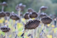 C'est le moment de récolter (Croc'odile67) Tags: nikon d3300 sigma contemporary fleurs flowers nature champ campagne