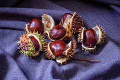 Fresh horse chestnuts in cracked shells on dark background (zaklina.miljkovic) Tags: aesculus autumn background botanic brown chestnut closeup color cracked decoration food fruits hippocastanum horse natural organic petal plant season shell thorns vegan vegetarian vitamins
