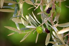 Olea europaea (daniel virella) Tags: oleaeuropaea olivas azeitonas aceitunas olives زيتون green leaves picmonkey