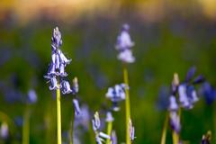 _DSC0959 (gael.lebrun56) Tags: fleur colza rape beez flower macro insect