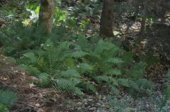 [Dryopteridaceae] Dryopteris filx-mas (Gemeiner Wurmfarn) † (pe_ma) Tags: toggenburg altstjohann hike hiking bergwanderung wanderung wandern herbstwanderung farn wurmfarn fern