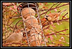 """Sparrow Duet..."" (NikonShutterBug1) Tags: nikond7100 tamron18400mm birds ornithology wildlife nature spe smartphotoeditor birdfeedingstation bokeh birdsfeeding sparrow"