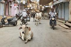 Jaisalmer - India (Joao Eduardo Figueiredo) Tags: jaisalmer india blue city bluecity cow holy nikon nikond850 d850 joaofigueiredo joaoeduardofigueiredo rajasthan