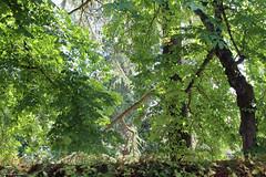 Chantourteau, parc de La Prévôté (philippeguillot21) Tags: arbre tree verdure feuille prévôté parc chantourteau bouchemaine maineetloire paysdelaloire france europe pixelistes canon branche tronc