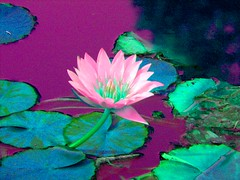 Waterlily in Pink (Stanley Zimny (Thank You for 33 Million views)) Tags: flower effects waterlily lily pink