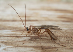 Yellow ophion (Ophion obscuratus) (butterflyman minster) Tags: ichneumon ophion wasp