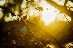 my senses reeled VI (culuthilwen) Tags: sonya99 sonyalpha99 sonysti fullframe carlzeissbiometar carlzeissjena carlzeiss fall biometar vintagelens bokeh biometar80mmf28 autumn biometar80mm 80mm f28 nature light leaves foliage blurry goldenhour branches
