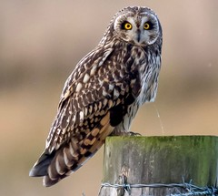 Short eared owl (ftm599) Tags: raining rain teeside photography nikonphotography naturephotography wildlifephotography nikon nature wildlife wild sat chilling post hunting hunter birdofprey birds bird owls owl shortearedowl