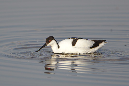 "Pied Avocet, Recurvirostra avosetta at Marievale Nature Reserve, Gauteng, South Africa • <a style=""font-size:0.8em;"" href=""http://www.flickr.com/photos/93242958@N00/30695640147/"" target=""_blank"">View on Flickr</a>"