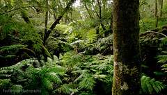 Valley of Ferns (Panorama Paul) Tags: paulbruinsphotography wwwpaulbruinscoza southafrica southerncape gardenroute knysnaforest valleyofferns indigenousforests nikond800 nikkorlenses nikfilters