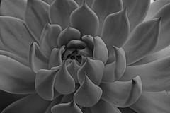 natural beauty (hennessy.barb) Tags: succulent plant pattern nature blackandwhite beauty