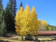 Prettiest Trees in Town (Patricia Henschen) Tags: chaffeecounty sawatch range mountains mountain aspen autumn fall color gold silver mine mines mining ruins ghosttown stelmo mtprinceton chalkcreek nathrop colorado canyon sanisabelnationalforest leafpeeping fallcolor county road backroad clouds countyroad162 chaffee