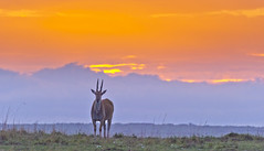 Sentinel at sunset (paolo_barbarini) Tags: kenya masai mara gazel sunset animal safari africa wildlife nature