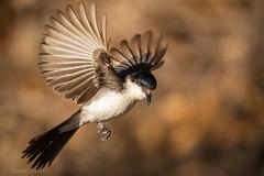 GRS20180930 00426-185-2 (glennsmith3) Tags: sydney newsouthwales australia au restlessflycatcher flycatcher bird birdsinflight wings brown birdinflight smallbirds