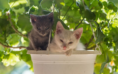 kittens II (13) (Vlado Ferenčić) Tags: kitty kittens animals animalplanet pets vladoferencic vladimirferencic catsdogs cats hrvatska croatia zagorje klenovnik nikond600 tamron9028