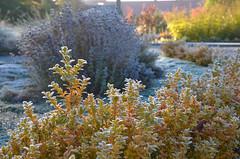 Autumn smile (RdeUppsala) Tags: trädgård jardín garden frost escarcha paisaje plantas växter plants frozen otoño autumn höst uppland uppsala city ciudad stad sweden suecia sverige ricardofeinstein