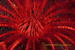 Too Red for Me (kayak_no1) Tags: nikon d800e nauticamhousing 105mmvr diopter ysd1 subsee10 underwater underwaterphotography macro supermacro diving scubadiving uw lembehstrait indonesia francis lau feather star red