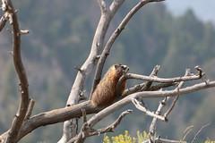 Yellow-Bellied Marmot on a dead Tree (Alessandro Messora) Tags: yellowstone park nature hiking yellow marmot rock chuck specimen ridge animal mammal tree plant