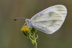 Weissling (HelmiGloor) Tags: schmetterlinge tagfalter butterflies insekten insecta insects wildlife weissling makro macro schweiz kantonaargau fieldstack focusstacking focusbracketing olympusmzuikodigitaled60mm olympusomdem1mkii