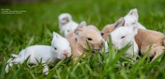 Baby rabbits (Magic life gallery) Tags: rabbit rabbits mammal mammals mamifero nikon d850 closeup