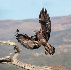 Golden Eagle (Chas Moonie-Wild Photography) Tags: golden eagle wild male adult aquila chrysaetos flying