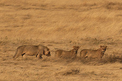 Pride of lions walk along the slopes of the crater (RedPlanetClaire) Tags: eastafrica tanzania nationalpark safari african ngorongorocrater worldheritagesite conservationarea wild animal big cats cat feline lion lions lioness pride singlefile