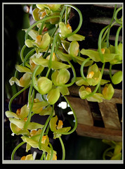 Gongora galeata var. luteola species orchid (nolehace) Tags: summer nolehace fz1000 918 flower bloom plant gongora galeata var luteola species orchid fragrant sanfrancisco