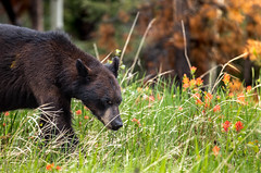 Black Bear - Banff Canada (Giorgino23) Tags: bear orso canada banff park nature canon wildlife wild