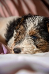 GFC_0242 (Willini) Tags: willini fox terrier foxterrier amigo lente bohke nikon mascota animal ternura