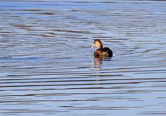 Little Grebe (3) (grahamh1651) Tags: marazion longrockpool birds waterbirds swans mountsbay grebes