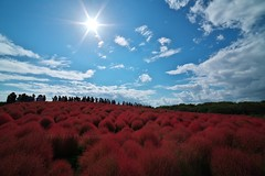 Red Kochia Carnival at Hitachi Seaside Park (_TAKATEN_) Tags: sony alpha a7rii a7rm2 samyang kochia