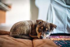 Stella (M///S///H) Tags: 35mm 35mmf14 lenstagger bigeyes bokeh brown dog floppyears layingdown lookingup mutt pillow pup puppy rescuedog zeisscy35mmf14