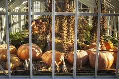 mammoth amounts... (Redheadwondering) Tags: 103nutritious 118picturesin2018 greenhouse pumpkins vegetables windows stourhead nationaltrust a7 sonyα7ii