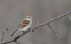 American Tree Sparrow Bruant hudsonien (ricketdi) Tags: bruanthudsonien spizellaarborea americantreesparrow coth5 ngc npc
