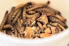 Личинки жука зофобаса - основний корм для рукокрилих в Центрі реабілітації рукокрилих