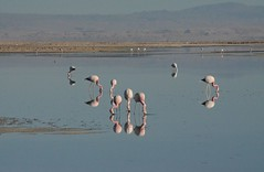 2017-11-09_0729_DSC_0669a (becklectic) Tags: 2017 atacamadesert atacamasaltflat birds chile flamingoes lagunachaxa lake piedrasrojastour regióndeantofagasta reservanacionallosflamencos salardeatacama sanpedrodeatacama flamingo flamingos