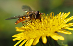 drinking (Johnson Cameraface) Tags: 2018 october autumn olympus omde1 em1 micro43 mzuiko 60mm macro f28 johnsoncameraface doncasterlakeside hoverfly dandelion