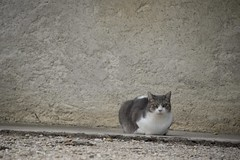 Les yeux d'ambre * (Titole) Tags: cat katze kat gato gatto minimalism titole nicolefaton eyes grey rulefothirds