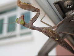 P9230177_RAW_ps (kentsang66) Tags: insect mantis