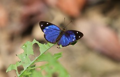 Very beautiful blue and black butterfly (with white spots) (Paul Cottis) Tags: manu peru amazonbasin paulcottis rainforest 26 september 2018 sept insect butterfly